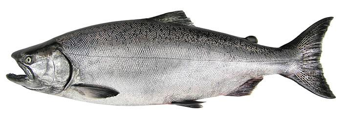 Future Of Salmon In A Warming World – Part 2